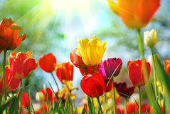 Belles tulipes image stock
