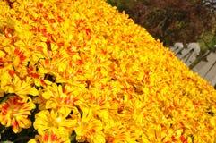Belles tulipes colorées blossing jaunes au printemps image stock