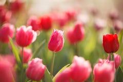 Belles tulipes colorées dans le jardin Images stock