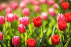 Belles tulipes colorées dans le jardin Photographie stock