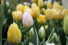 belles tulipes colorées en gros plan fleurissant dans le jardin extérieur Image stock