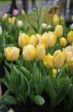 belles tulipes colorées en gros plan fleurissant dans le jardin extérieur Images libres de droits