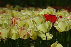 Belles tulipes dans Keukenhof, Hollande Photo libre de droits