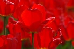 Belles tulipes dans Keukenhof, Hollande Photo libre de droits