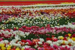 Belles tulipes dans Keukenhof, Hollande Images stock