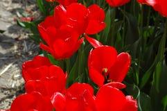 Belles tulipes dans Keukenhof, Hollande Image stock