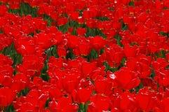 Belles tulipes dans Keukenhof, Hollande Photographie stock libre de droits