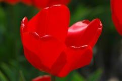 Belles tulipes dans Keukenhof, Hollande Images libres de droits