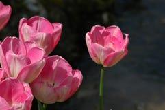 Belles tulipes dans Keukenhof, Hollande Image libre de droits