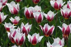 Belles tulipes dans Keukenhof, Hollande Photos stock