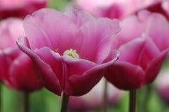 Belles tulipes dans Keukenhof, Hollande Photos libres de droits