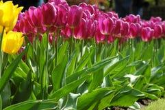 Belles tulipes dans Keukenhof, Hollande Photo stock