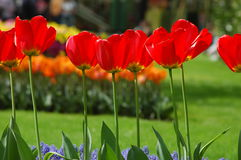 Belles tulipes dans Keukenhof, Hollande Photos stock
