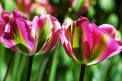 Belles tulipes dans Keukenhof, Hollande Photo stock