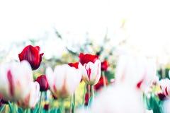 Belles tulipes de dégagement le jour d'été avec l'espace de copie, Colorfu Photo stock