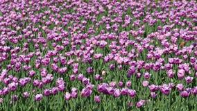 Belles tulipes de floraison au printemps Image libre de droits