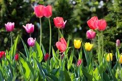 Belles tulipes de ressort Photo libre de droits