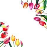 Belles tulipes de ressort dans un croquis de main d'aquarelle de cadre Photo stock