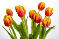 Belles tulipes de rouge orange sur le fond blanc pur Image stock