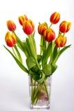 Belles tulipes de rouge orange sur le fond blanc pur Image libre de droits