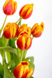 Belles tulipes de rouge orange sur le fond blanc pur Images stock