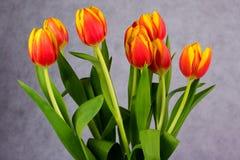 Belles tulipes de rouge orange sur le fond gris Images stock