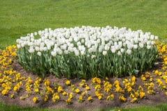 Belles tulipes et violettes blanches en parc contre les jeunes jaunes blancs de source de fleur de concept de fond Photos libres de droits