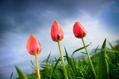 Belles tulipes grandissant dans le ciel orageux Images stock