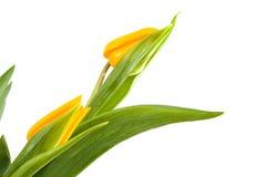 Belles tulipes hollandaises jaunes Photo stock