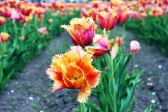 Belles tulipes jaune-orange Photos libres de droits