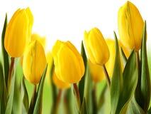 Belles tulipes jaunes Image libre de droits