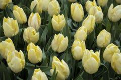 Belles tulipes jaunes en parc image libre de droits