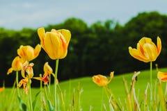 Belles tulipes jaunes fraîches de champ Photographie stock libre de droits