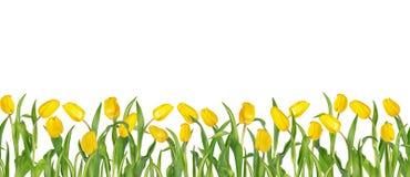 Belles tulipes jaunes vives sur de longues tiges avec les feuilles vertes disposées dans la rangée sans couture D'isolement sur l photographie stock libre de droits