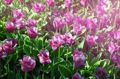 Belles tulipes multicolores sur les rues d'une grande ville image stock