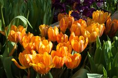 Belles tulipes oranges Images stock