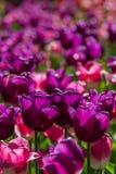 Belles tulipes pourprées Photos libres de droits