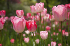 Belles tulipes roses photos stock