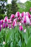 Belles tulipes roses et blanches Tulipes roses dans le jardin images libres de droits