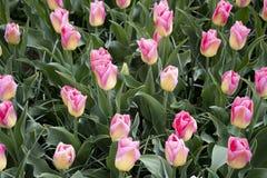 Belles tulipes roses jaunes sur le champ image libre de droits