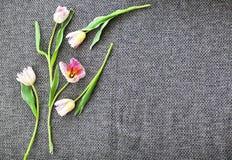 Belles tulipes roses sur le fond gris Photo stock