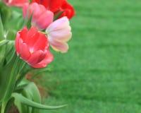 Belles tulipes roses sur le fond vert de tache floue photographie stock libre de droits