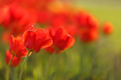 Belles tulipes rouges Photographie stock