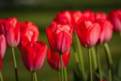 Belles tulipes rouges dans le jardin au printemps Photos stock