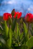 Belles tulipes rouges dans le jardin, tulipes que son ressort fleurit, fond de ciel bleu Images libres de droits