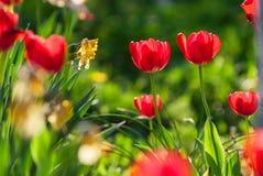 Belles tulipes rouges, Darwin Hybrid Red Tulips dans un parterre Photos libres de droits