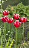 Belles tulipes rouges en fleurs de ressort de jardin photo libre de droits