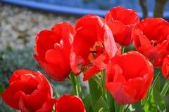 Belles tulipes rouges fleurissantes dans le jardin dans le printemps Images stock