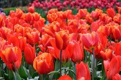 Belles tulipes rouges Fond floral de source Les tulipes se ferment vers le haut photo libre de droits