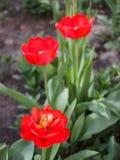 Belles tulipes rouges s'?levant dans le jardin photo stock